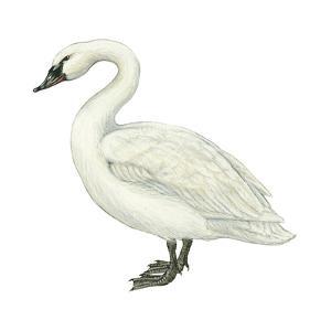 Trumpeter Swan (Cygnus Cygnus Buccinator), Birds by Encyclopaedia Britannica