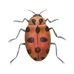 Twelve-Spotted Ladybird Beetle (Hippodamia Convergens), Insects by Encyclopaedia Britannica