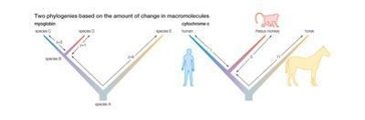 Two Phylogenies Based on the Amount of Change in Macromolecules. Evolution by Encyclopaedia Britannica