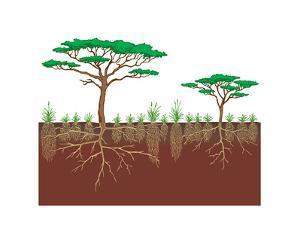 Vegetation Profile of a Savanna. Biosphere, Earth Sciences by Encyclopaedia Britannica