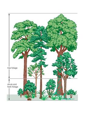 Vegetation Profile of a Temperate Deciduous Forest. Biosphere, Earth Sciences by Encyclopaedia Britannica