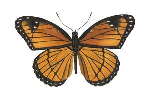Viceroy Butterfly (Basilarchia Archippus), Insects by Encyclopaedia Britannica
