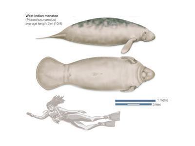 West Indian Manatee (Trichechus Manatus), Mammals by Encyclopaedia Britannica