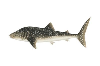 Whale Shark (Rhincodon Typus), Fishes by Encyclopaedia Britannica
