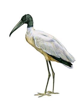 Wood Ibis (Mycteria Americana), Birds by Encyclopaedia Britannica