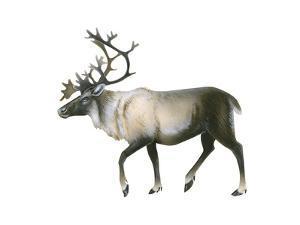 Woodland Caribou (Rangifer Tarandus Caribou), Mammals by Encyclopaedia Britannica