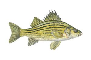 Yellow Bass (Roccus Mississippiensis), Fishes by Encyclopaedia Britannica