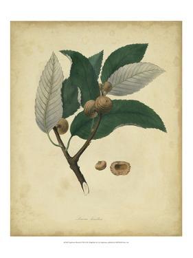 Engelmann Botanical VIII by Engelmann