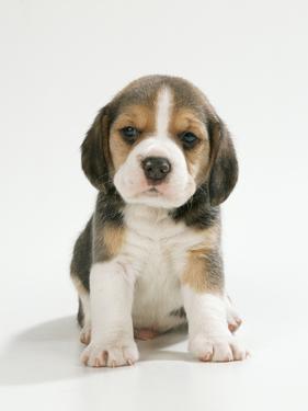 English Beagle Puppy Sitting