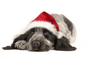 English Cocker Spaniel Puppy in Christmas Hat