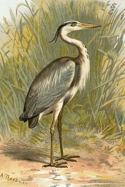Heron by English