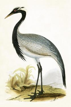 Numidian Crane,  from 'A History of the Birds of Europe Not Observed in the British Isles' by English