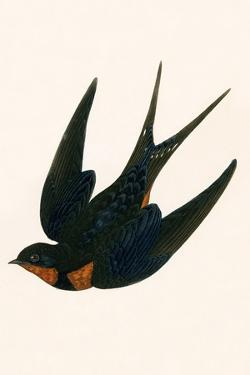 Oriental Chimney Swallow by English