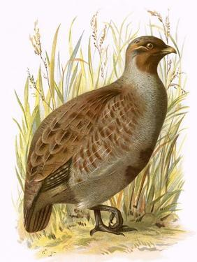 Partridge by English