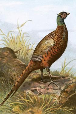 Pheasant by English