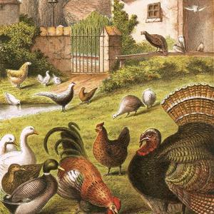 Poultry at a Farm by English