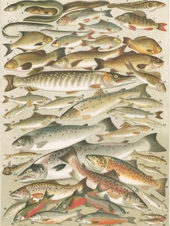 Our British Fresh Water Fish by English School