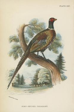 Ring-Necked Pheasant by English School