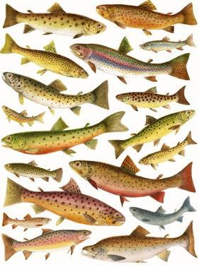 Trout by English School