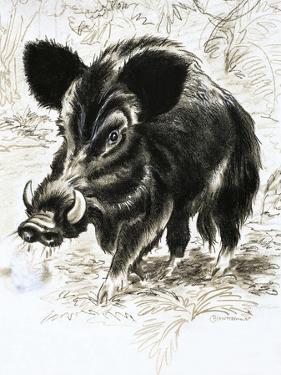 Wild Boar by English School