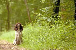 English Springer Spaniel on Woodland Path