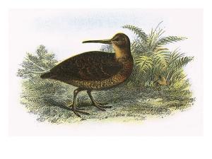 Woodcock by English