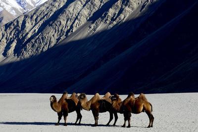 Bactrian camels on sand, Nubra Valley, Ladakh, India