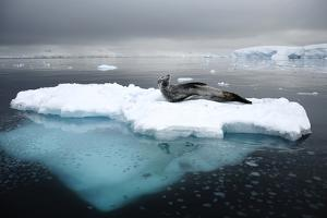 Leopard Seal (Hydrurga Leptonyx) Resting on Iceberg, Gerlache Strait, Antarctica by Enrique Lopez-Tapia