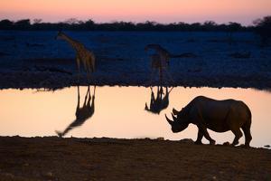 Angolan Giraffes (Giraffa Camelopardalis Angolensis) and Black Rhinoceros (Diceros Bicornis) by Eric Baccega