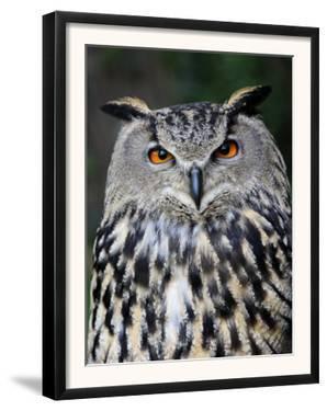 Eurasian Eagle-Owl Captive, France by Eric Baccega