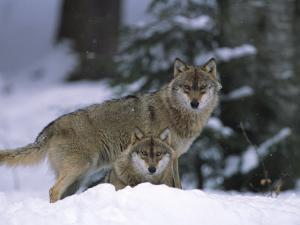 European Grey Wolves in Snow, Bayerischer Wald Np, Germany by Eric Baccega