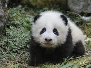 Giant Panda Baby Aged 5 Months, Wolong Nature Reserve, China by Eric Baccega