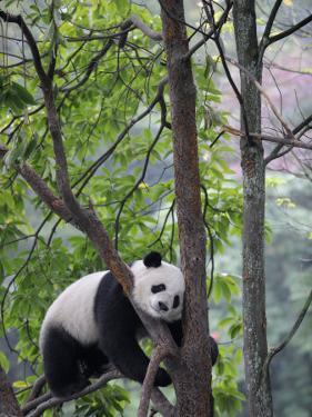 Giant Panda Climbing in a Tree Bifengxia Giant Panda Breeding and Conservation Center, China by Eric Baccega