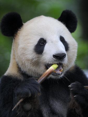 Giant Panda Feeding on Bamboo at Bifengxia Giant Panda Breeding and Conservation Center, China