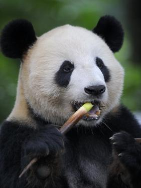 Giant Panda Feeding on Bamboo at Bifengxia Giant Panda Breeding and Conservation Center, China by Eric Baccega