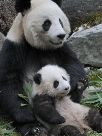 Giant Panda Mother and Baby, Wolong Nature Reserve, China by Eric Baccega
