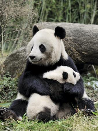 Giant Panda, Mother and Baby by Eric Baccega