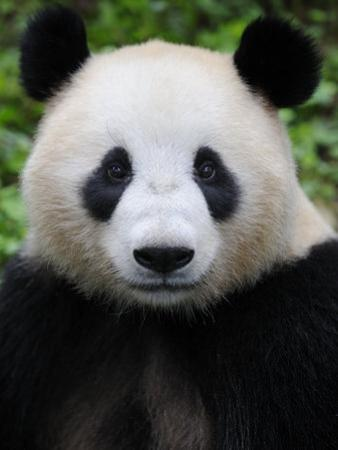 Head Portrait of a Giant Panda Bifengxia Giant Panda Breeding and Conservation Center, China by Eric Baccega