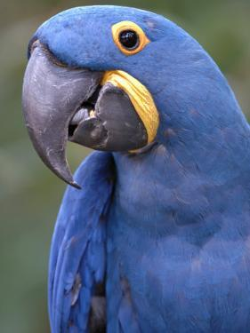 Hyacinth Macaw, Iucn Red List of Endangered Species by Eric Baccega