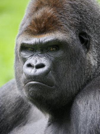 Male Silverback Western Lowland Gorilla Head Portrait, France