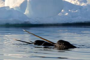 Narwhal (Monodon Monoceros) Showing Tusks Above Water Surface. Baffin Island, Nunavut, Canada by Eric Baccega