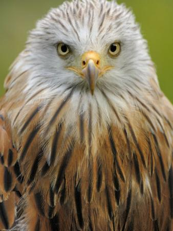 Red Kite, Iucn Red List of Endangered Species Captive, France