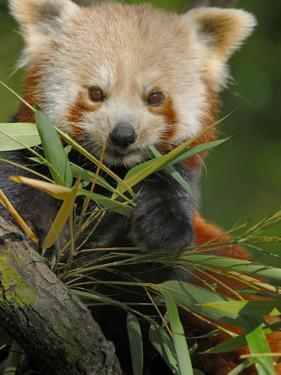 Red Panda Feeding on Bamboo Leaves, Iucn Red List of Endangered Species by Eric Baccega