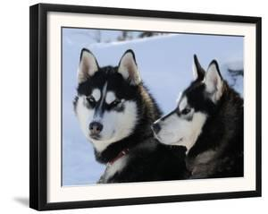 Siberian Husky Sled Dogs Pair in Snow, Northwest Territories, Canada March 2007 by Eric Baccega