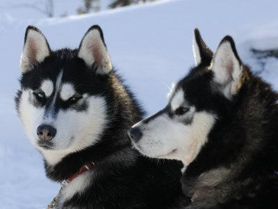 Siberian Husky Sled Dogs Pair in Snow, Northwest Territories, Canada March 2007