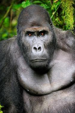 Silverback Male Eastern Lowland Gorilla (Gorilla Beringei Graueri) by Eric Baccega
