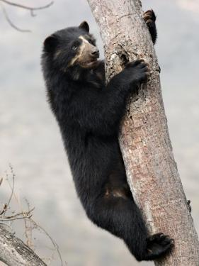 Spectacled Bear Climbing in Tree, Chaparri Ecological Reserve, Peru, South America by Eric Baccega