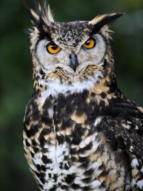 Spotted Eagle-Owl Captive, France by Eric Baccega
