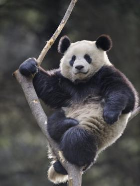Subadult Giant Panda Climbing in a Tree Wolong Nature Reserve, China by Eric Baccega