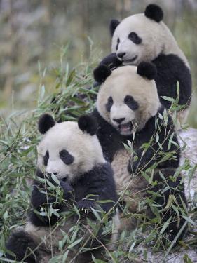 Three Subadult Giant Pandas Feeding on Bamboo Wolong Nature Reserve, China by Eric Baccega